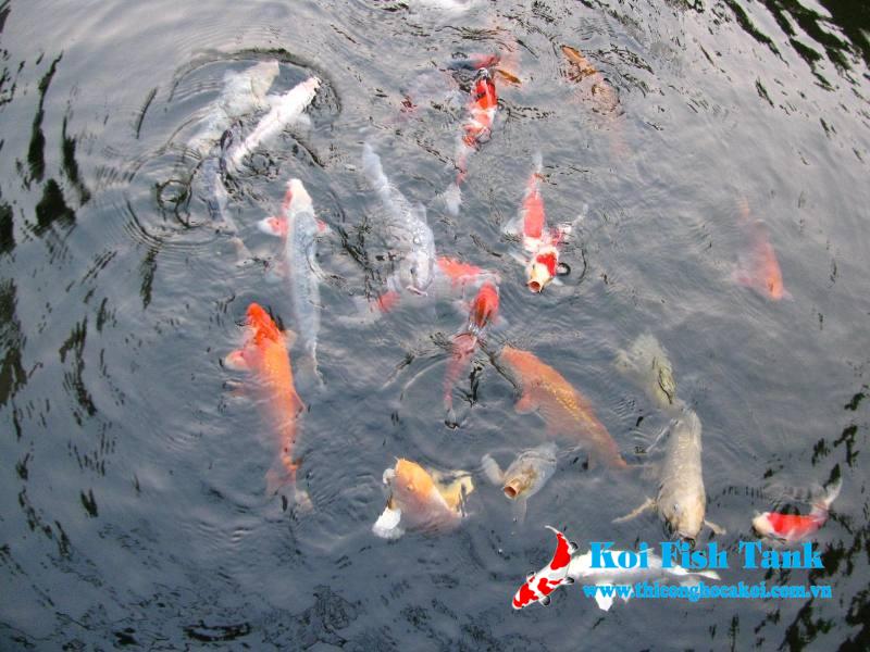 Nguyên nhân hồ cá koi bị đục và cách khắc phục