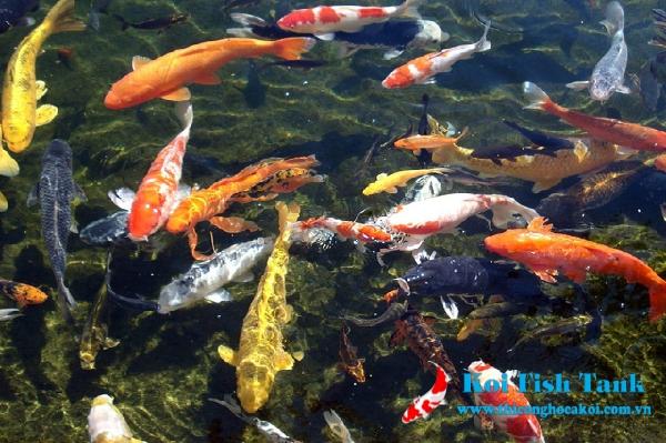 Giữ cho độ Ph trong hồ cá koi luôn ổn định