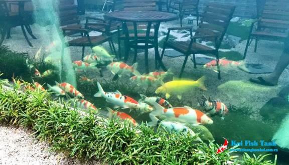 Nuôi cá koi trong hồ kiếng