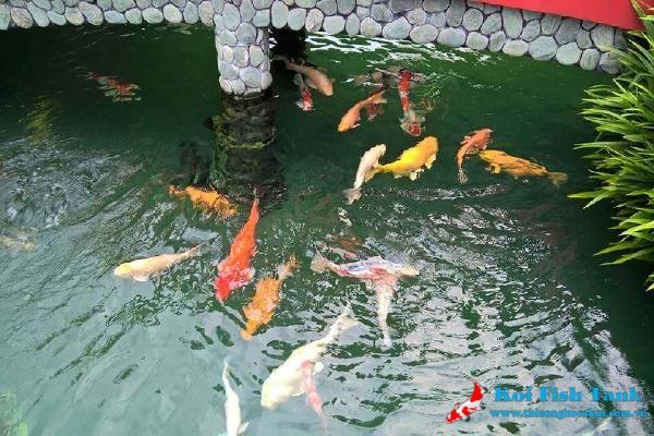 Cách làm bộ lọc nước hồ cá koi tại Hồ Cá Koi Việt