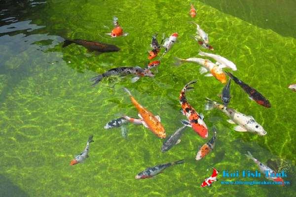 Tập tính sinh sản của cá koi