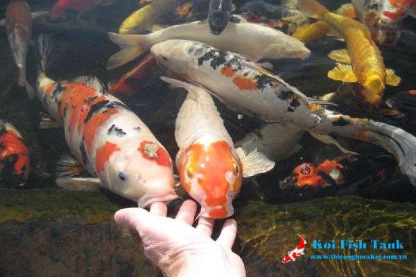 Cách nuôi cá koi