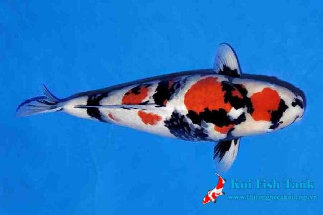 Cá koi Nhật Showa