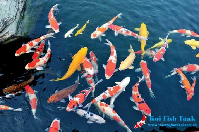 Một số nguyên nhân khiến cá koi bị phai màu