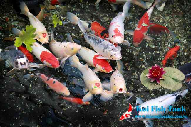 Hướng dẫn lựa chọn cá koi Nhật phù hợp với phong thủy nhà bạn