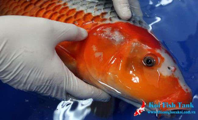 Nhận biết bệnh ở cá koi