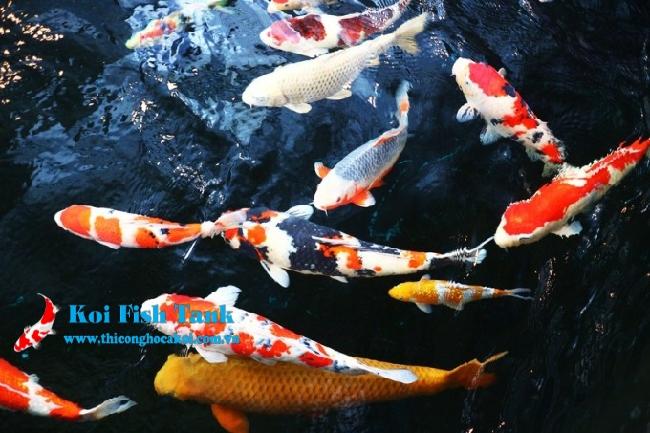 Cách lựa chọn cá Koi đẹp, tiêu chuẩn, không lỗi tật
