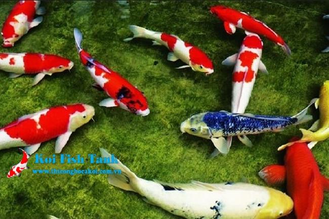 Phân biệt giới tính cá qua vây, dáng bơi