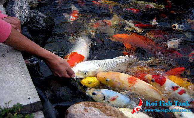 Cách cho cá koi ăn
