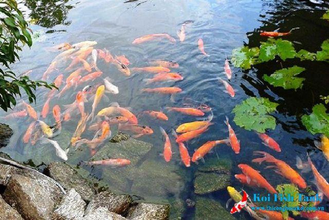 Vệ sinh nước hồ cá koi