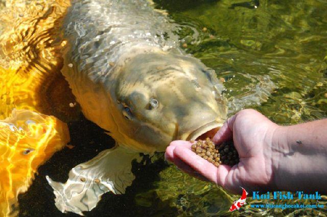 Không nên cho cá koi ăn quá nhiều