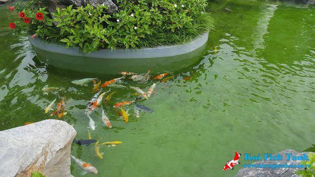 Hồ cá koi nhiễm rêu