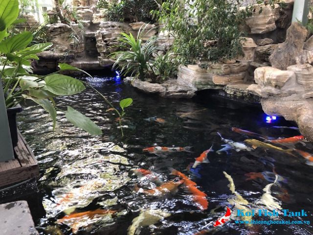 Nhiệt độ nước làm thay đổi màu sắc cá koi
