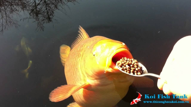 Tự làm thức ăn cho cá koi tại nhà chất lượng