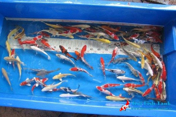 Sự khác biệt của cá koi đực và cá koi cái