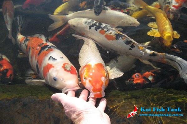 Cách thả cá koi mới vào hồ
