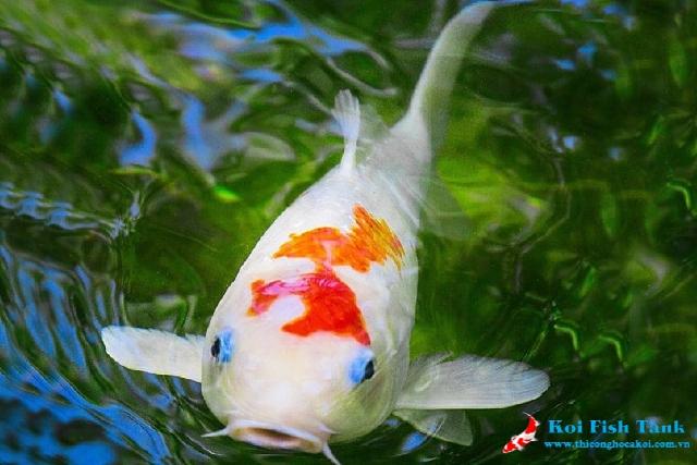 Lưu ý xử lý khi cá koi mất sắc tố