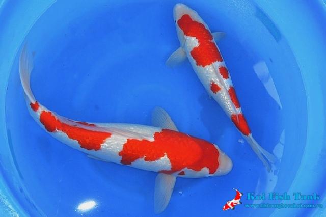 Tìm hiểu về vây đuôi cá koi giúp bạn lựa chọn cá đẹp