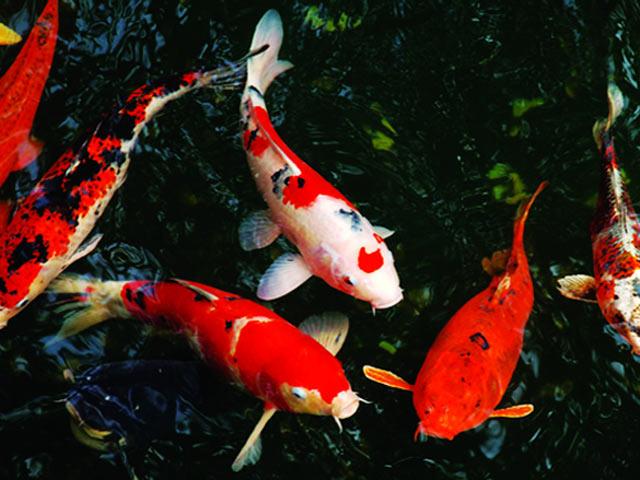 Chia sẻ kỹ thuật nuôi và chăm sóc cá chép Nhật cho tín đồ mê cá cảnh